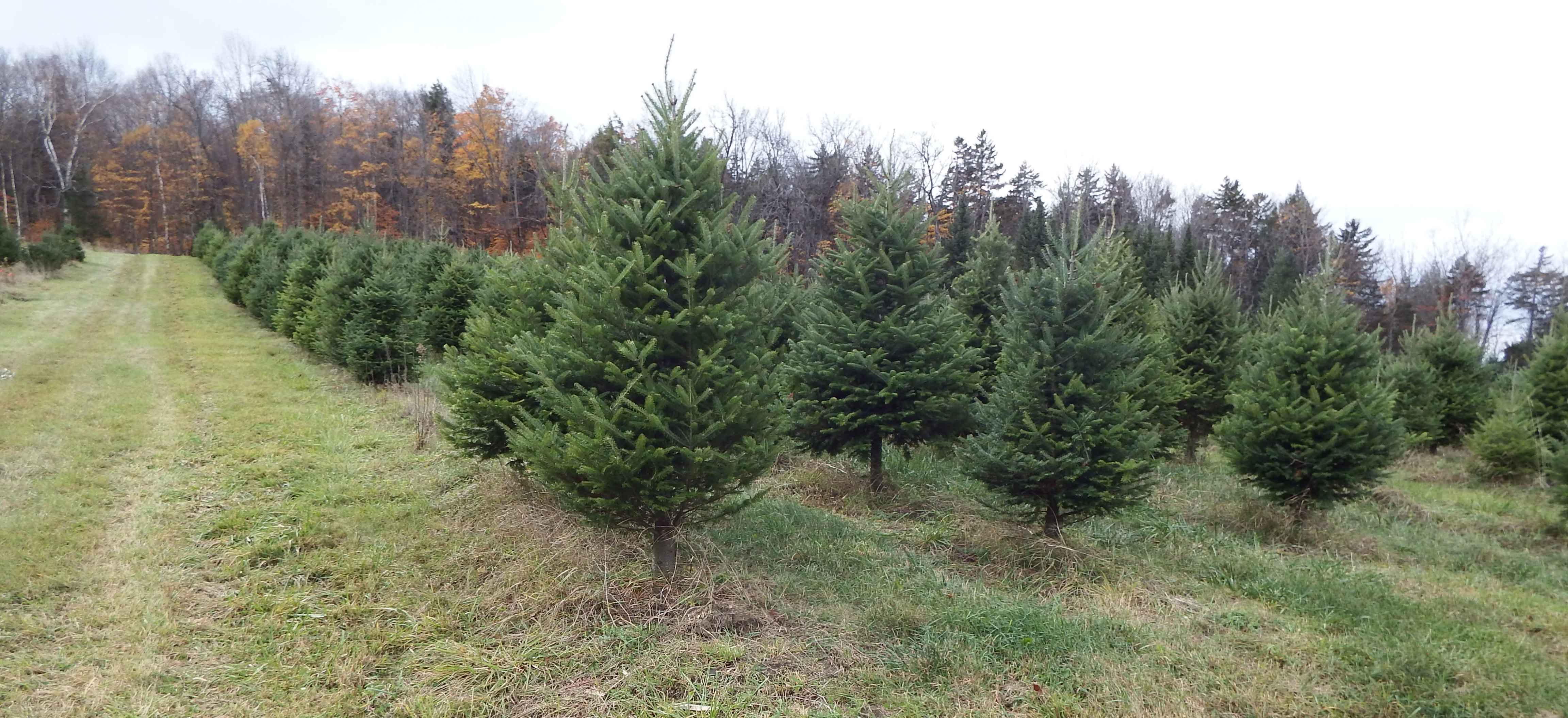 Vermont Christmas trees, wholesale christmas trees, wreaths, choose and cut  your christmas tree on the farm